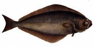 Halibut pescado