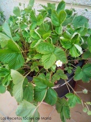 Planta de fresas mini- Tartaleta de fresas mini y crema de limón
